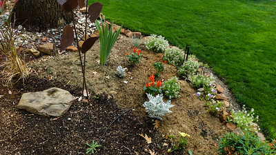 more mulched salvia and the alyssum didn't start blooming again until I mulched it with grass