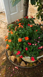regular impatiens, a hidden New Guinea impatiens are doing OK in the other photinia protected pot