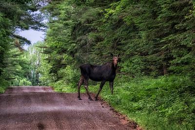 Moose Near Finland