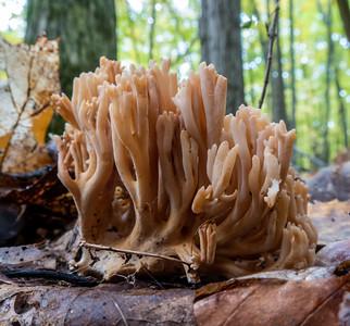 Coral Mushroom (Artomyces pyxidatus)
