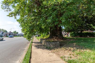 Largest Sassafras Tree