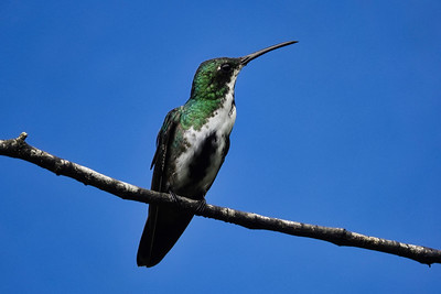 5655.black-throated mango (Anthracothorax nigricollis).♀︎ immature