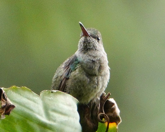 5864.blue-chested hummingbird (Amazilia amabilis).♀︎