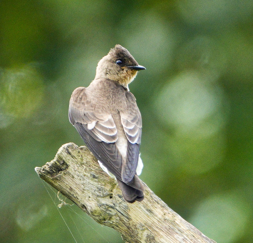 6184.southern rough-winged swallow (Stelgidopteryx ruficollis)