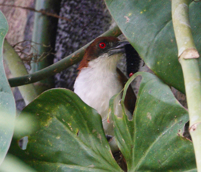 6125.great antshrike (Taraba major).♀︎