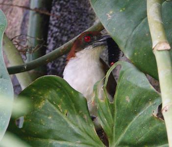 Birding Darien, Panama - 3-8 Jan18