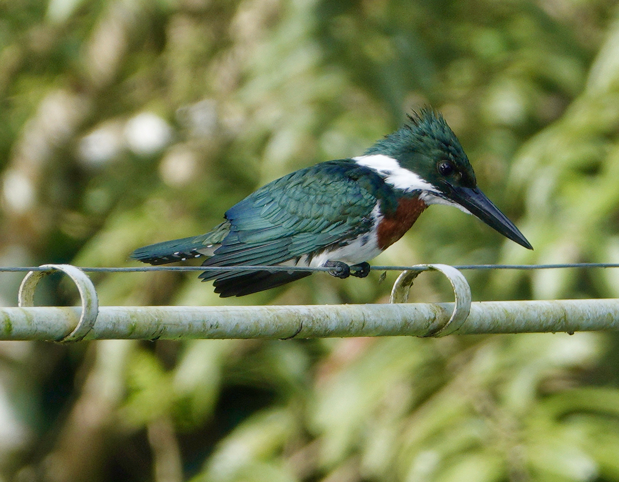6090.Green Kingfisher (Chloroceryle americana isthmica.♂︎