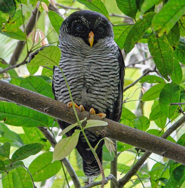 5794.Black-and-white Owl (Strix nigrolineata)