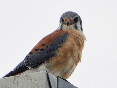 5912.American kestrel (Falco sparverius)