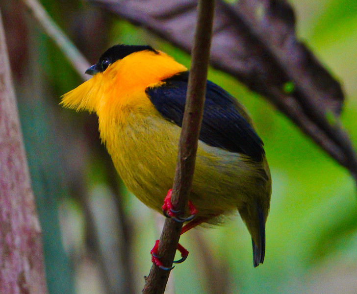 5850.Golden-Collared Manakin (Manacus vitellinus).♂︎