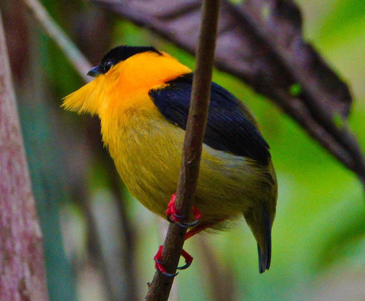 5850.Golden-Collared Manakin (Manacus vitellinus).♂︎