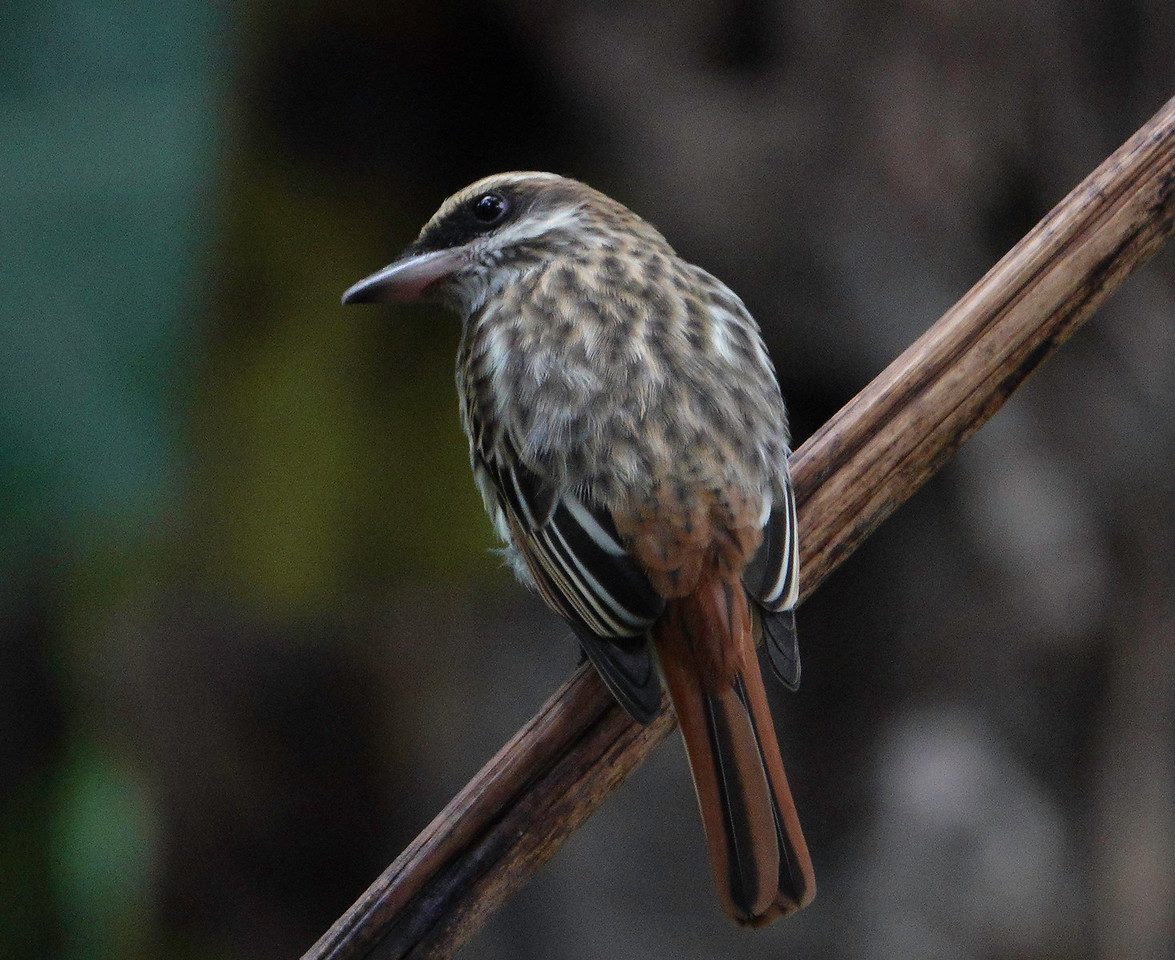 5712.streaked flycatcher (Myiodynastes maculatus)