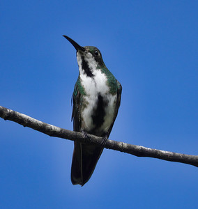 5657.black-throated mango (Anthracothorax nigricollis).♀︎.immature