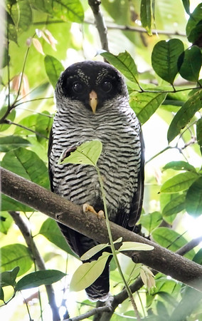 5735.Black-and-white Owl (Strix nigrolineata)