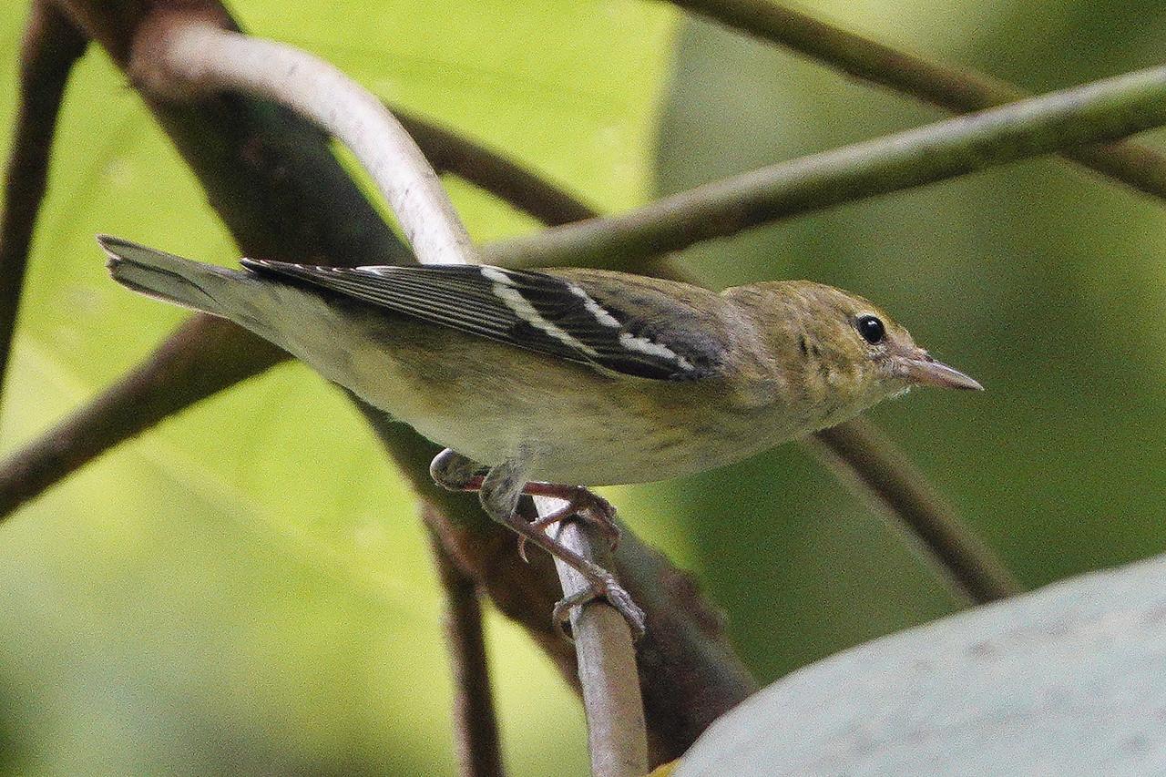 6220.bay-breasted warbler (Setophaga castanea)♀︎.immature