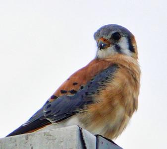 5916. American kestrel (Falco sparverius)