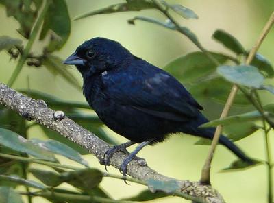 5978.blue-black5978.blue-black grassquit (Volatinia jacarina).♂︎