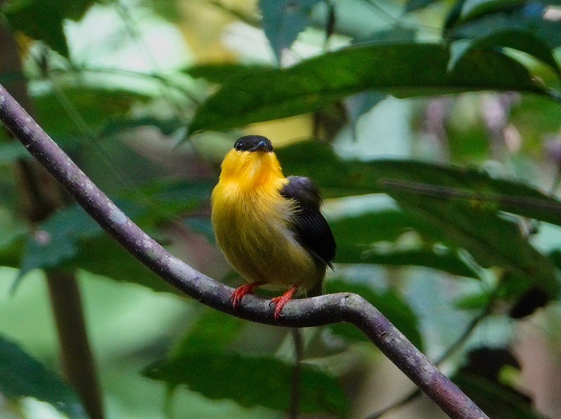 5822.Golden-Collared Manakin (Manacus vitellinus).♂︎