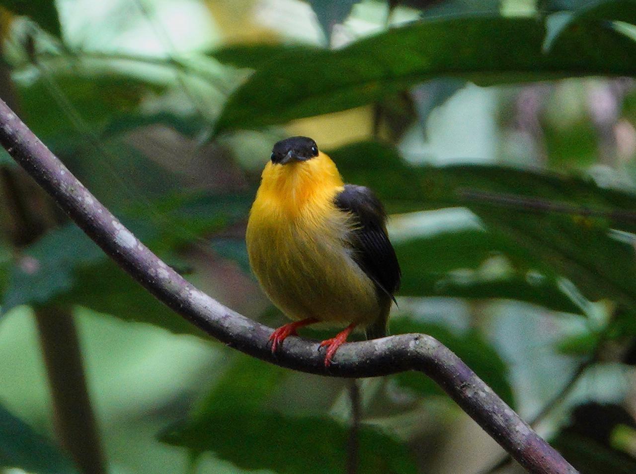 5826.Golden-Collared Manakin (Manacus vitellinus).♂︎