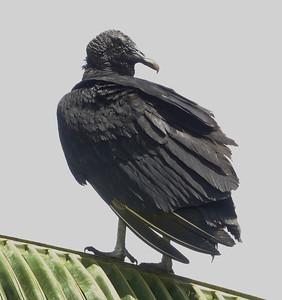 6028.black vulture (Coragyps atratus)(also known as the American black vulture)
