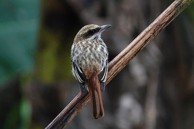 5707.streaked flycatcher (Myiodynastes maculatus)