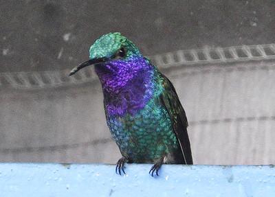 5623.sapphire-throated hummingbird (Lepidopyga coeruleogularis).♂︎
