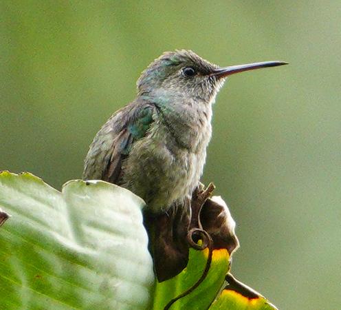 5867.blue-chested hummingbird (Amazilia amabilis).♀︎
