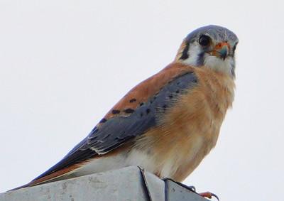 5929. American kestrel (Falco sparverius)