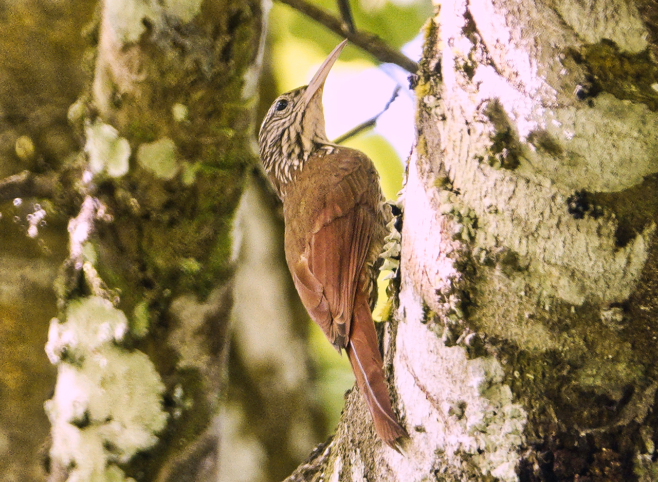 6002.straight-billed woodcreeper (Dendroplex picus)