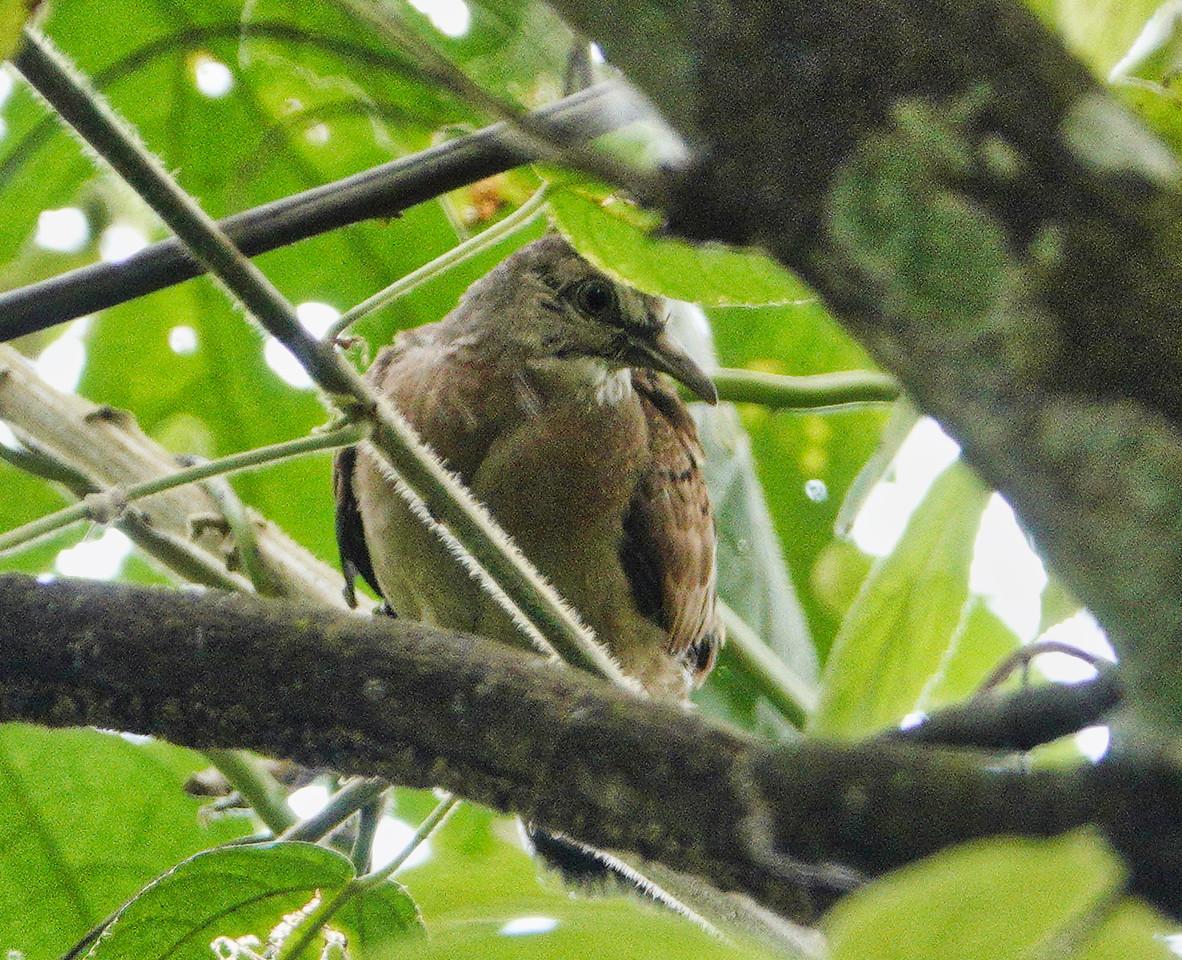 6209.plain-breasted ground dove (Columbina minuta)