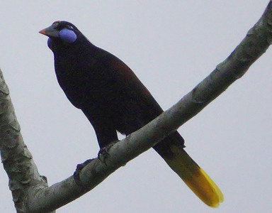 6038.black oropendola (Psarocolius guatimozinus)