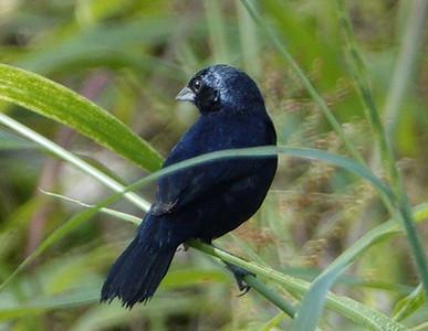 5991.blue-black grassquit (Volatinia jacarina). ♂︎