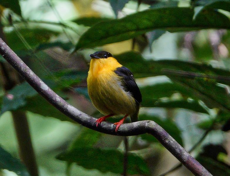 5821.Golden-Collared Manakin (Manacus vitellinus).♂︎