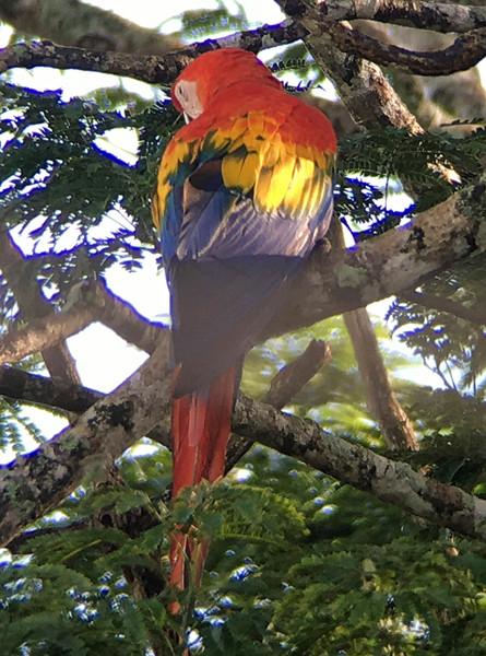 IMG4690 scarlet macaw