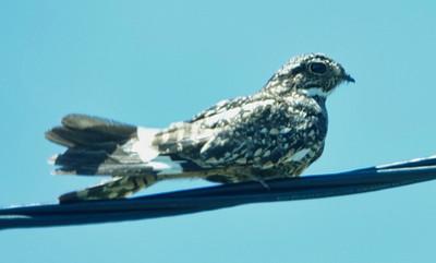 DSC0427 lesser nighthawk