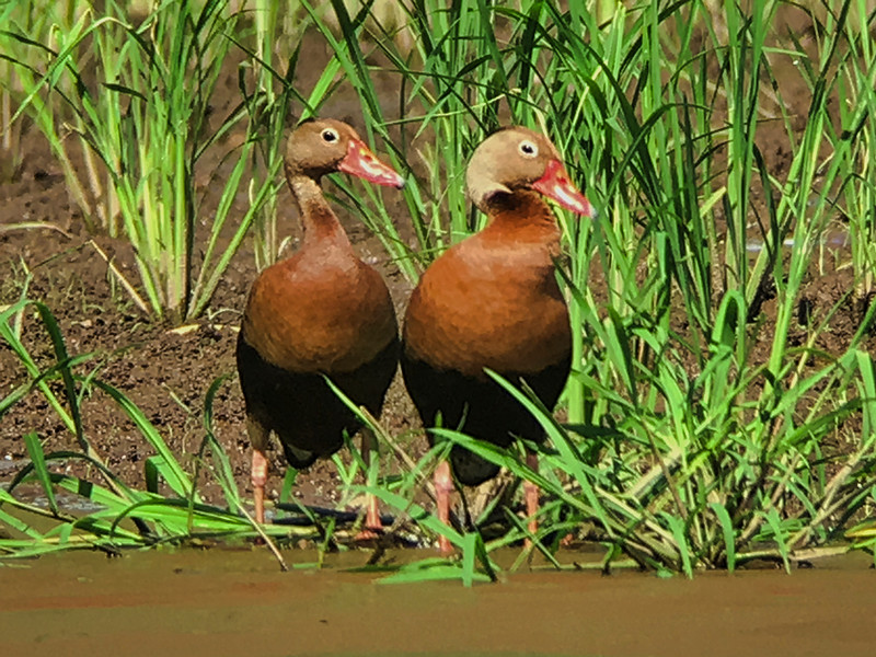 IMG4759 black-bellied whistling duck