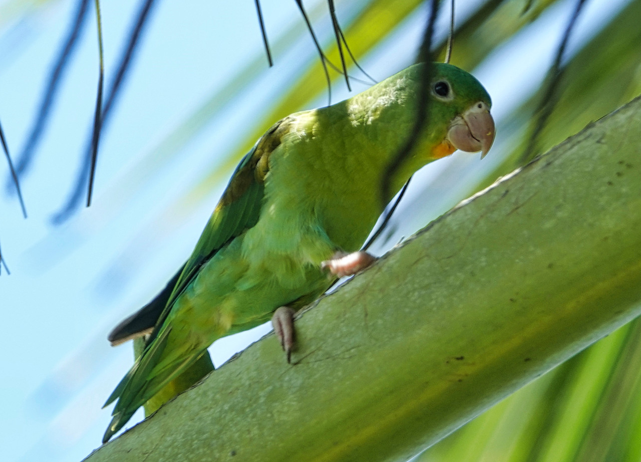 DSC0373 orange chin parakeets