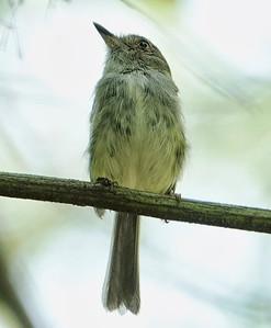 DSC0455 pale-eyed pygmy-tyrant