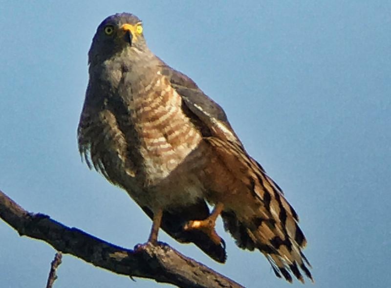 IMG4713 roadside hawk