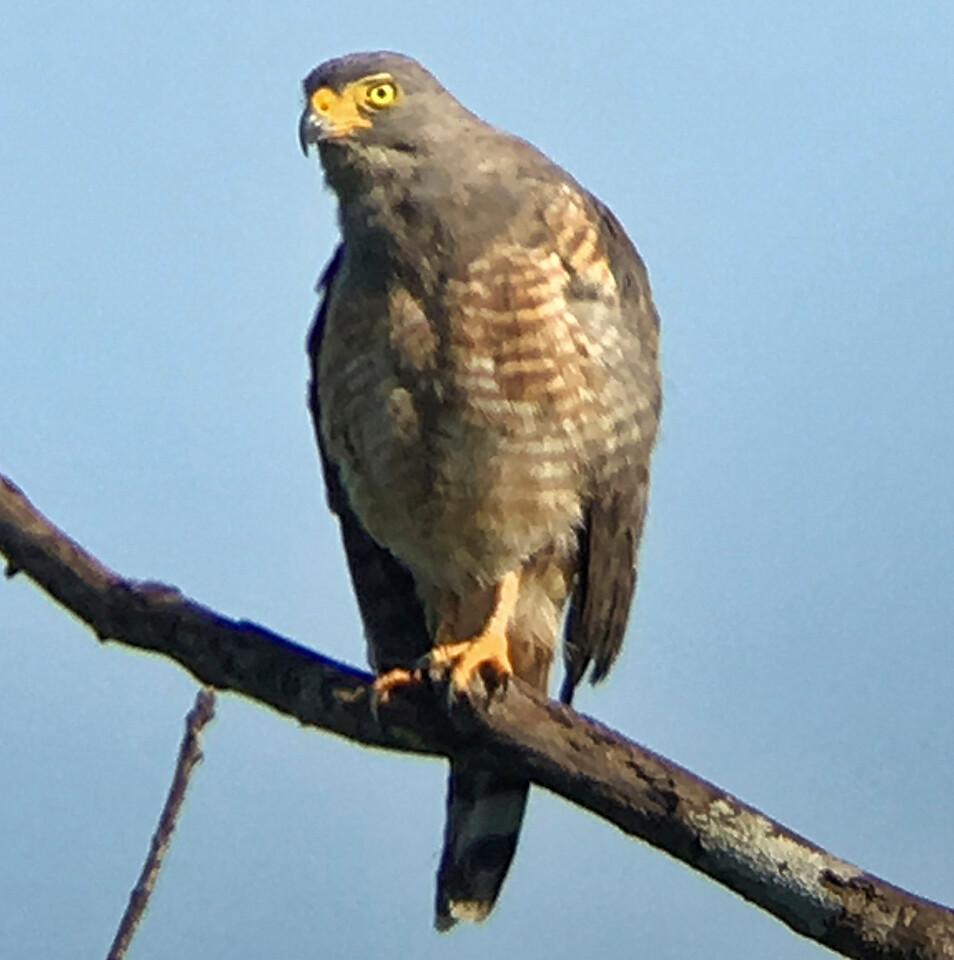 IMG4703 roadside hawk
