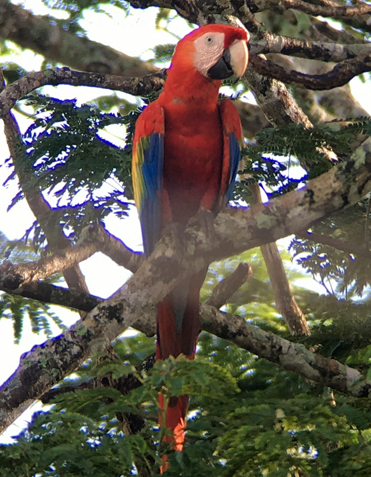 IMG4686 scarlet macaw