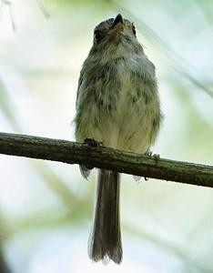 DSC0451 pale-eyed pygmy-tyrant