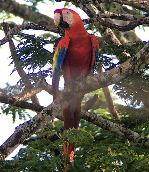 IMG4685 scarlet macaw