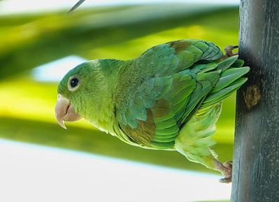 DSC0414 orange chin parakeets