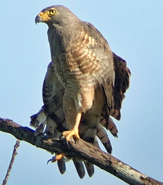 IMG4707 roadside hawk