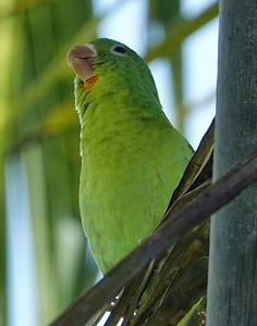 DSC0406 orange chin parakeets