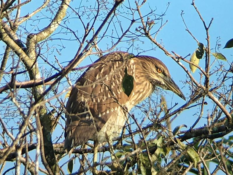 IMG4673 black-crowned night heron juvenile