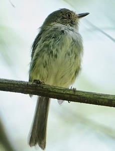 DSC0459 pale-eyed pygmy-tyrant