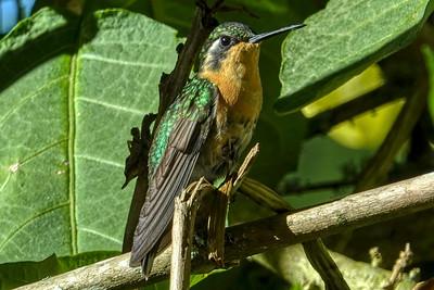 Montaingem Hummingbird-female
