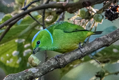 Golden-browed chlorophonia - female